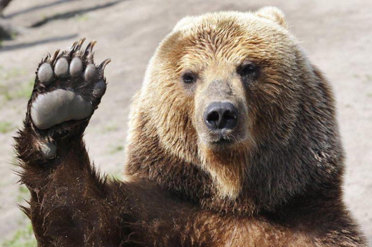 "Bjarne a name for boys has the meaning ""bear"". Bjarne is an alternate form of Bjorn(Scandinavian, Old Norse): form ofBernard."